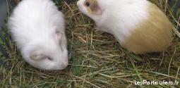 Donne deux femelles cochons d'inde