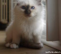 chaton sacre de birmanie loof